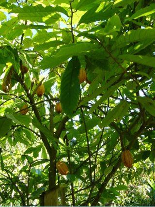 Kakaoträd Jardin Créole de la Guadeloupe a SainteRose